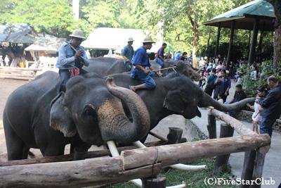 メーサー象キャンプ ショーが終わったらエサをあげよう!(チェンマイ)