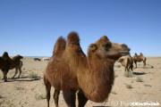 砂漠でラクダ乗り
