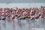 フラミンゴ(ナクル湖国立公園)