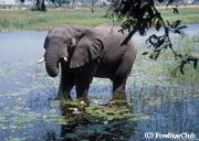 水辺で象を発見 (オカバンゴデルタ)