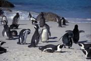 ケープ半島・ボルターズビーチではペンギンが間近に見られる