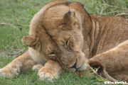 ライオン(ンゴロンゴロ動物公園)