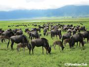 ヌー(ンゴロンゴロ動物保護区)
