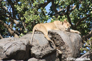 岩の上で昼寝するライオン