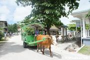 牛舎が走るラダィーグ島の町