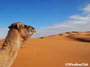 サハラ砂漠でラクダ乗り