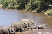 マラ河を渡るゾウ