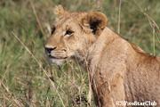 ライオン(マサイマラ動物保護区)