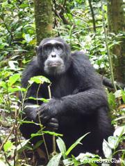 チンパンジートレッキング(キバレ国立公園)