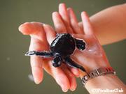 海亀保護センター/海亀の赤ちゃん