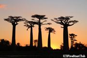 夕陽に染まるバオバブの並木道