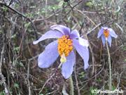幻の花 ブルーポピー