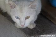 キリム工場にいたワン猫