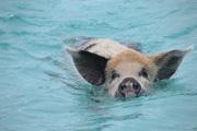 カリブ海を泳ぐ豚さん達