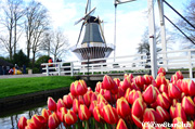 キューケンホフ公園 チューリップと風車