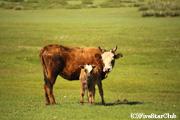 放牧中の動物たち 牛の親子(ブルド)