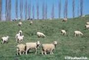ファームの羊たち