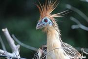 珍獣 まるで始祖鳥のような鳥 ツメバケイ(セレレ・デ・アグア)