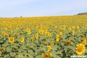 夏を感じさせる一面のひまわり畑