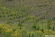 プリオラートのブドウ畑(プリオラート)